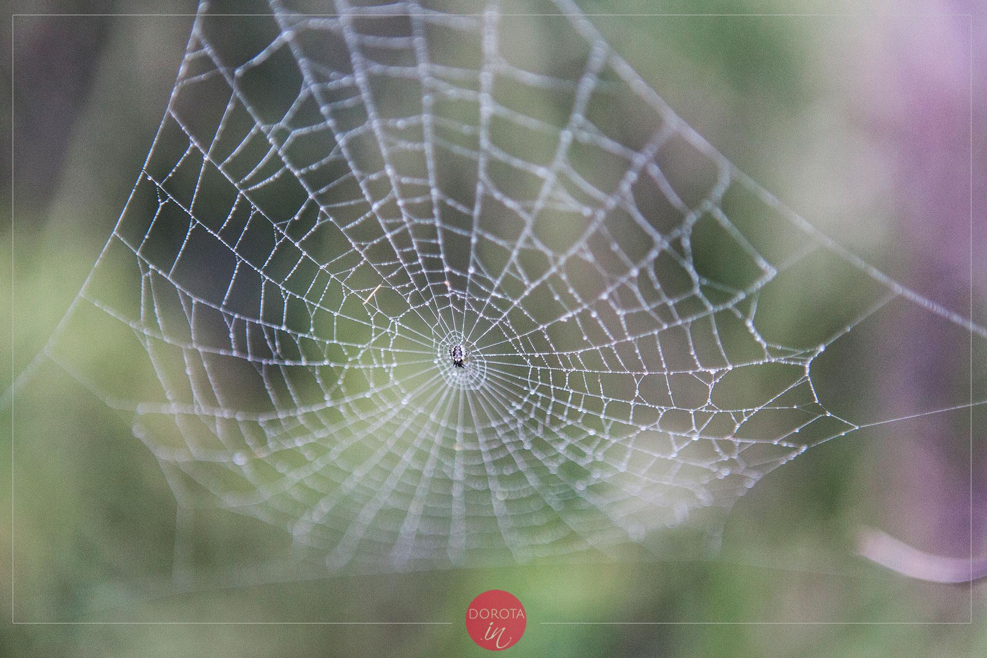 Rosa na pajęczynie - piękny widok i ciężko sfotografować na wietrze!